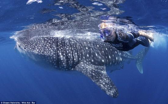 15米长鲸鲨与豪华游艇嬉耍震撼画面