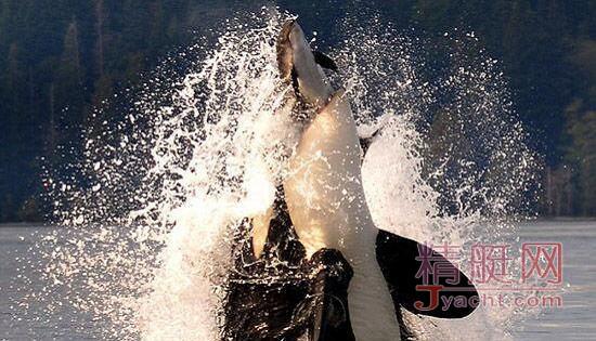 恐怖!摄影师相机记录虎鲸生吞小海豚