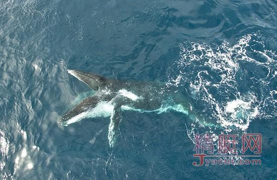 壮观!60头座头鲸南非近海享磷虾盛宴