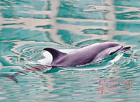 罕见小海豚误闯游艇会