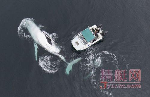 两头巨鲸玩自拍 水下摄影师被两头巨鲸跟随在其游艇周围嬉戏玩闹