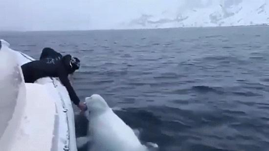 和白鲸玩橄榄球 | 艇游北极